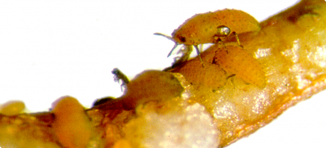Image of live grape phylloxera on grape roots