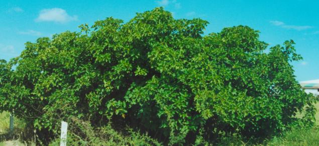 Physic nut tree.