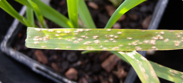 Powdery Mildew in barley