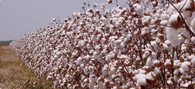 Cotton grown in the ORIA