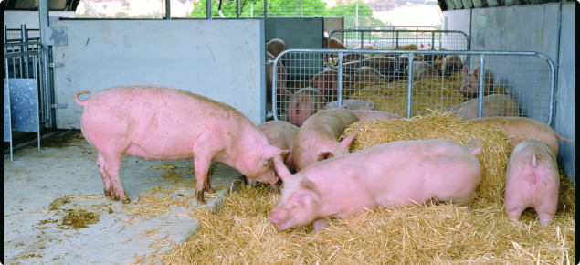 Group housed pigs on straw