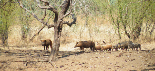 Feral pigs standing as a group in bush