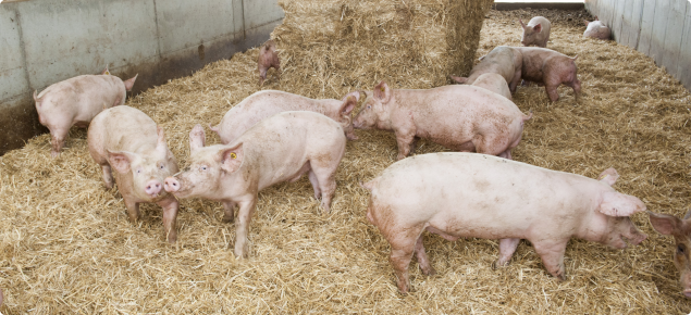 Pigs use straw for bedding but it can be put to other uses