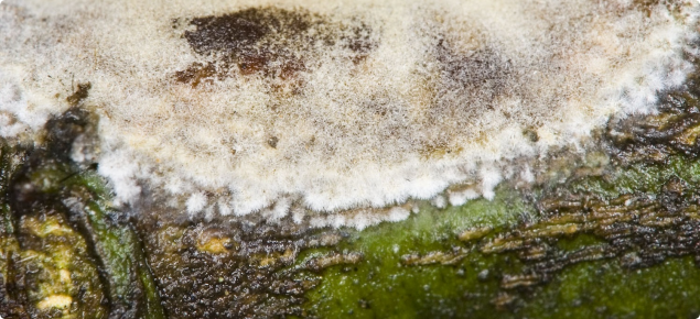 Erythricium salmonicolor growth on citrus stem showing the white-pink-grey coloured hyphal mass