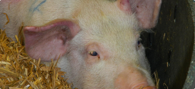 Pig with reddened ears showing signs of African swine fever. Used with permission of the Pirbright Institute