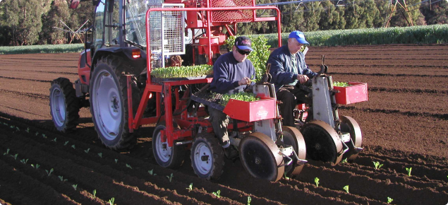 Cauliflowers being planted into loam soil using a mechanical plant and strip incorporation of fertiliser