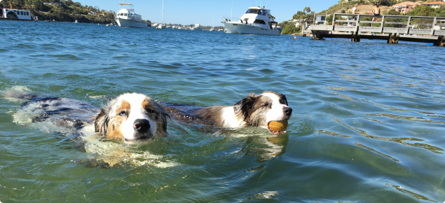 Two dogs swimming in river