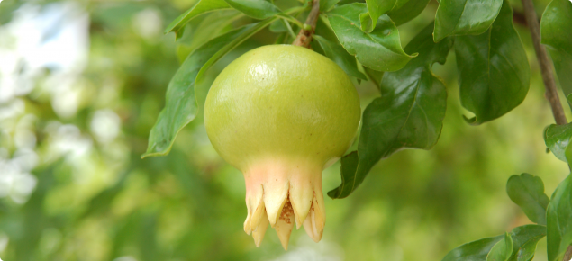 Young pomegranate fruit