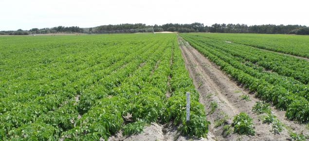 Potato crop growing in a paddock on a sandy soil