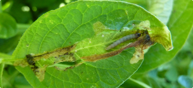 Potato tuber moth is an important pest of potato crops with the larvae being the damaging stage