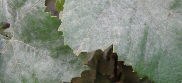 Powdery mildew on grape vine leaves