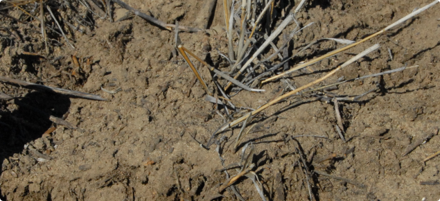 Preferential wetting up of water repellent soil below the previous years standing stubble