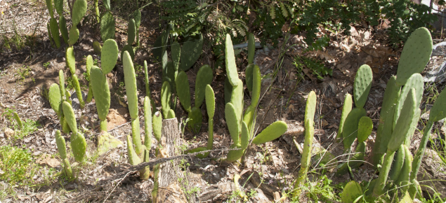 Prickly pear growing in bushland