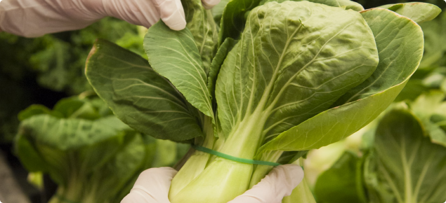 Gloved hand inspecting a bunch of bok choy