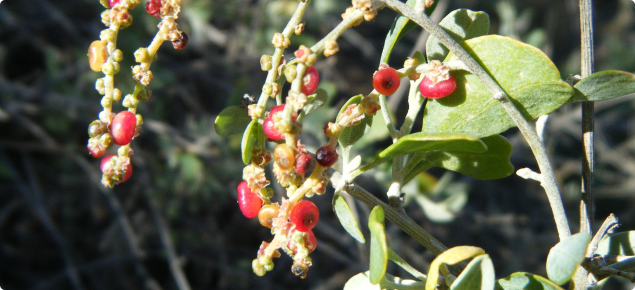 Tall Saltbush Agriculture And Food