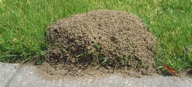 Red Imported Fire Ant mound with vegetation growing through it.