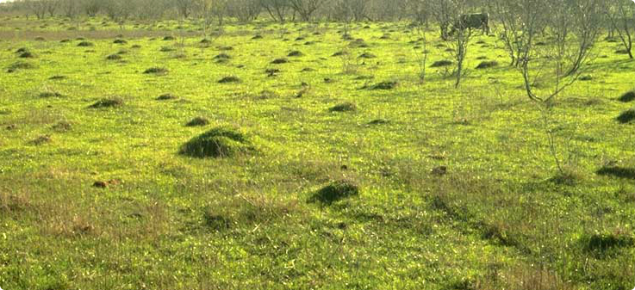 Red Imported Fire Ant mounds in paddock.