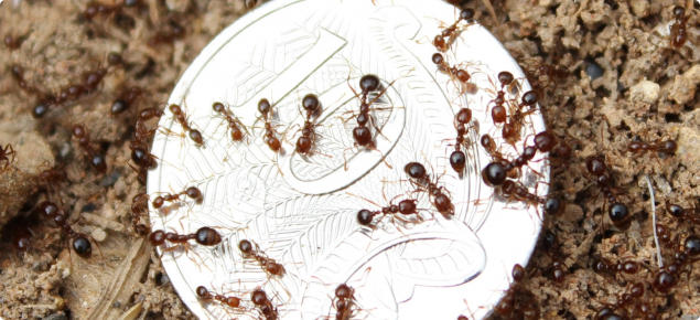 red imported fire ants of different sizes on a coin