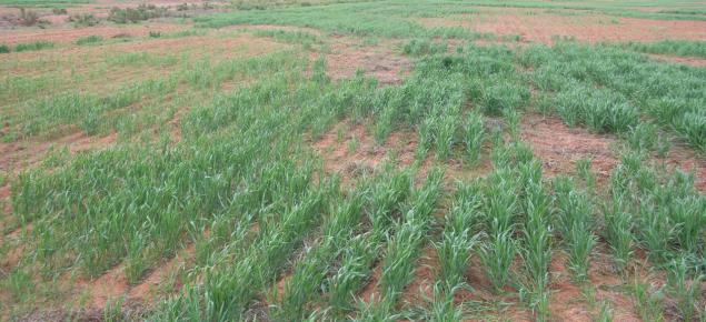salt affected cereal crop