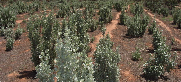 Image depicting an area planted to old man salt bush (Atriplex nummularia) that has been used as a fodder reserve for grazing livestock