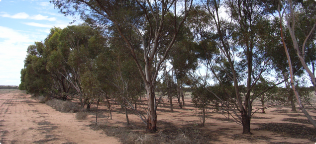 Image depicting a mature stand of salt tolerant eucalyptus trees planted in an alley layout