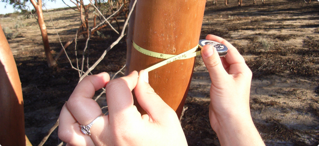 Image depicting a close up of a forestry diameter tape being used to measure the diameter of a Eucalyptus loxophleba var. lissophloia tree stem at breast height at the north Perenjori site