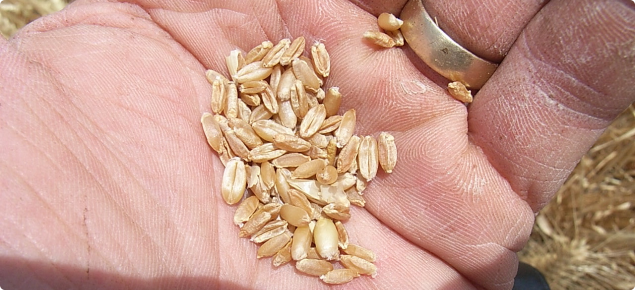 Wheat grain shrivelled from frost damage