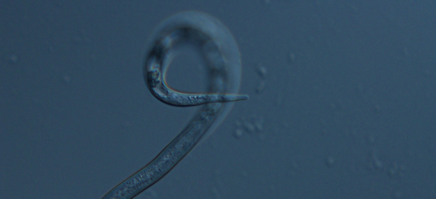 Microscopic juvenile root-knot nematode, about 0.6mm long