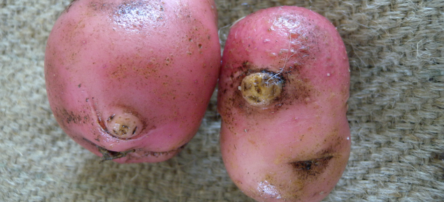 Ruby Lou potatoes with galls caused by infestation with the root-knot nematode Meloidogyne javanica