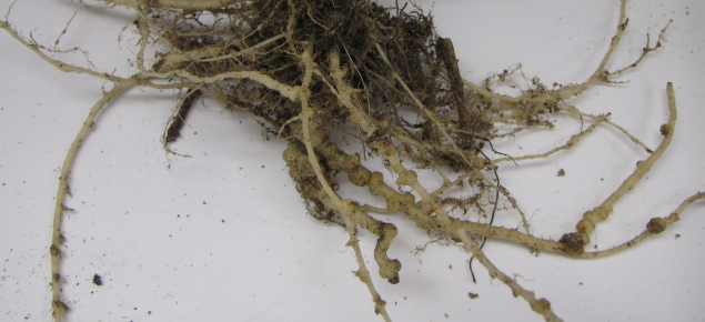 Galls on pumpkin roots caused by root-knot nematodes