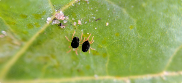 Two redlegged earth mites on a capeweed leaf.