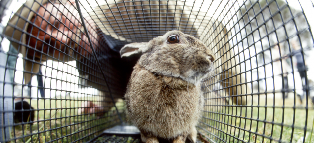 A rabbit in a cage on the ground with Department of Agriculture employee looking into the cage