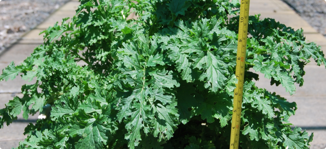 Young ragwort plant shows the leaves of ragwort