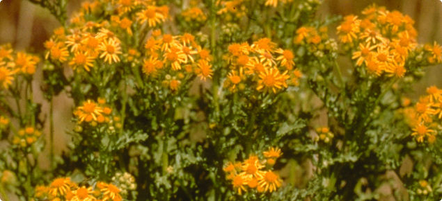Ragwort plant with daisy-like, yellow flowers