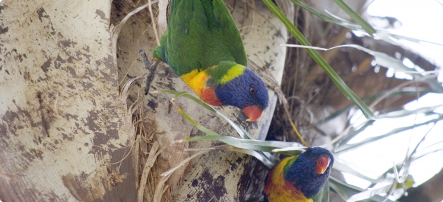 Rainbow lorikeets nesting in a palm tree