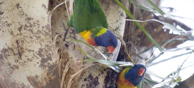 Rainbow lorikeets nesting in a palm tree