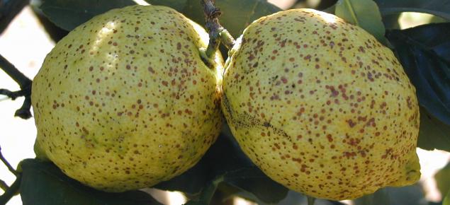 Red scale on lemon fruit