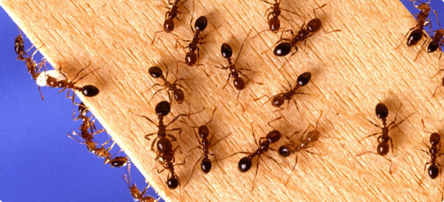 Live red imported fire ants crawling on a piece of wood.