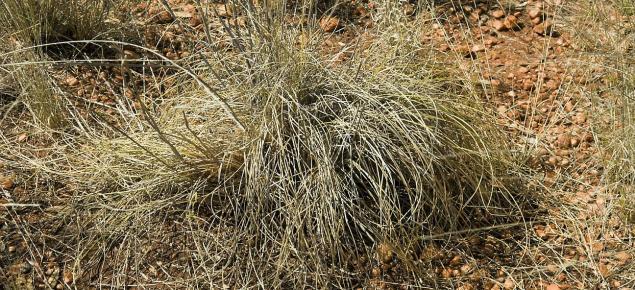 Photograph of ribbon grass (Chrysopogon fallax) in the Kimberley