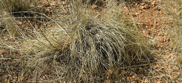 Photograph of ribbon grass (Chrysopogon fallax) in the Kimberley