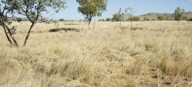 Photograph of ribbon grass pasture in good condition in the Kimberley