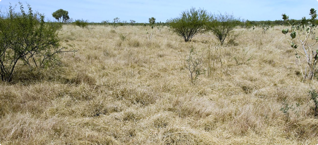 Photograph of Ribbon grass alluvial plain pasture in good condition in the east Kimberley