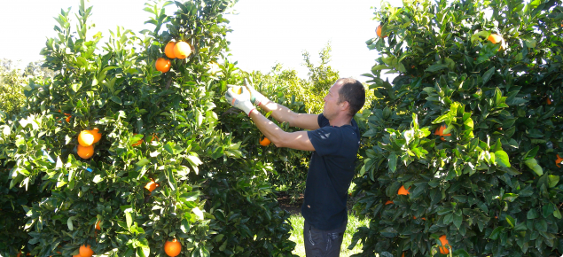 Harvesting Newhall navel oranges in Bindoon WA