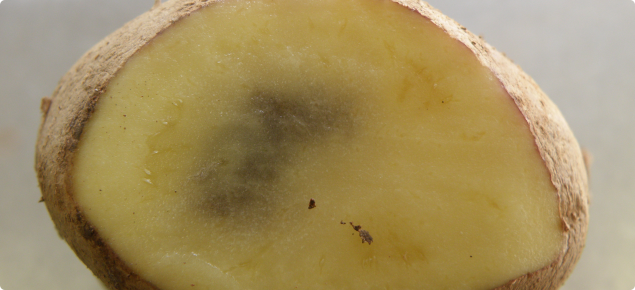 Blackspot on a Royal Blue potato showing damage to the tuber's cell contents