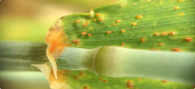 macro shot of leaf rust on green barley plant