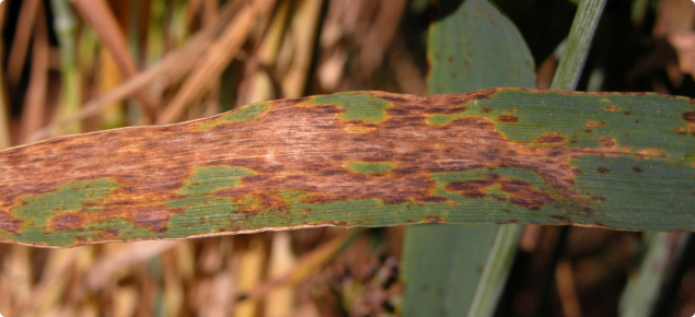 Septoria nodorum blotch - individual infections combine to form large blotched areas on leaves.