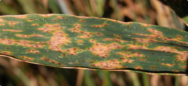 Septoria nodorum blotch - individual infections develop into blotches on leaves.