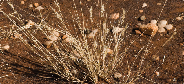 Limestone grass can be a short-lived perennial, but it hays off quickly in the dry season.