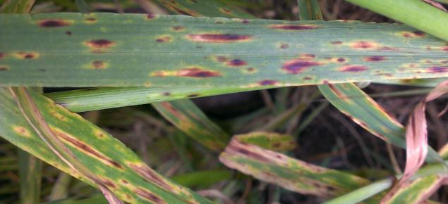 Spot form of net blotch on barley
