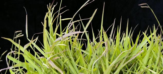 Signal grass